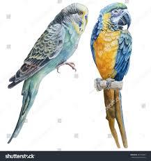 watercolor birds blue budgerigar parrot macaw stock vector
