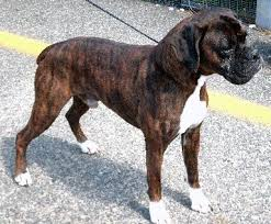 boxer dog with tail hi i u0027m fassa u0027s friend phantom i u0027ve been adopted fassas