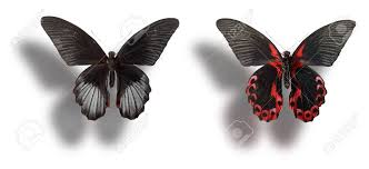 butterfly papilio rumanzovia dorsal view left and