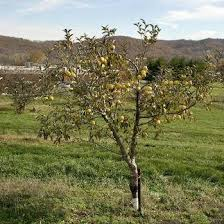 apple trees for sale apple trees from stark bro s