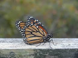 Monarch Migration Map Monarch Butterflies Fire Island National Seashore U S National