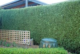 leighton green hedging cypress hello design ideas interior decorating and home design ideas loggr me