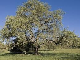trees plants what are the differences between california oak