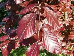 copper beech fagus sylvatica f purpurea woodland trust