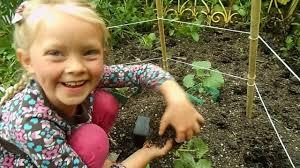 organic gardening cucumber trellis youtube