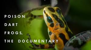 poison dart frogs the documentary by andrés u2014 kickstarter