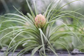 native florida air plants tillandsia spotlight tillandsia stricta air plant design studio
