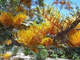 native plants in australia grevillea robusta mallee native plants