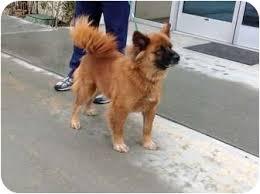 belgian sheepdog craigslist ginger adopted dog sacramento ca chow chow german shepherd
