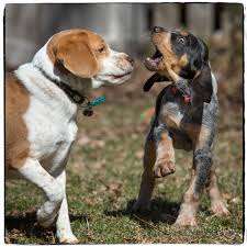 bluetick coonhound forums bluetick coonhound puppy playing with 4 year old beagle john