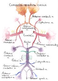 Vascular Anatomy Of The Brain Cerebral Arterial Circle By Ilex On Deviantart