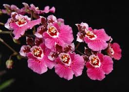 oncidium orchid how to care for oncidium orchids garden greenhouse