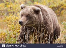 grizzly bear ursus arctos horribills fall colour denali