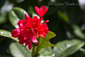 jatropha wikipedia the green thumb 2 0 a mix of botany gardening and photography