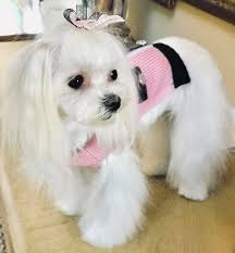 shorkie hair styles the 25 best dog haircuts ideas on pinterest dog grooming styles