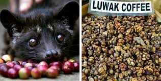 Luwak Coffee these tiny creatures are being tortured to produce the world s most
