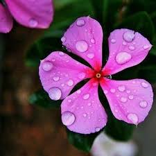 vinca flower periwinkle pink flower seeds vinca rosea the sun seeds