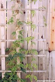 star jasmine on trellis how to care for the sweet pink jasmine everybody loves