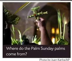 palms for palm sunday purchase where does the catholic church get all the palms it uses on palm