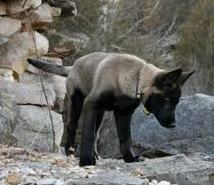 belgian shepherd x staffy 106 best dogs images on pinterest animals black wolves and dogs