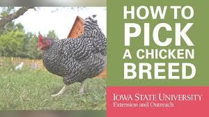 best backyard chicken fresh best backyard chicken breeds vectorsecurity me