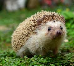 Hawaii wild animals images 16 fun facts about hedgehogs mental floss jpg
