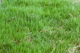 6 grass types for new orleans louisiana lawnstarter