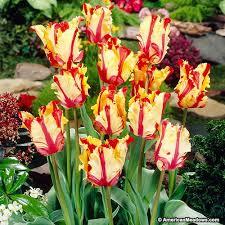 parrot tulip bulbs flaming parrot american meadows