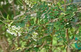 texas native plants lower rio grande valley trees and shrubs
