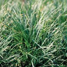 ornamental grasses garden plants u0026 flowers the home depot