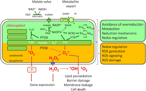 The Interplay Of Physical And Redox And Reactive Oxygen Species Dependent Signaling Into And