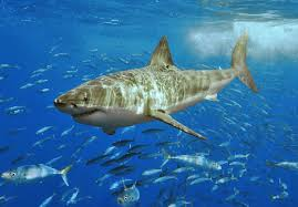 could there be great white sharks around the british isles hubpages