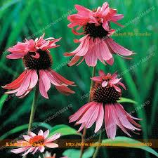 Echinacea Flower Aliexpress Com Buy 9 Colors Rare Coneflower Flower Seed 100
