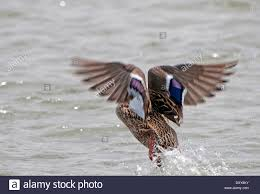 male mallard duck take off from a lake stock photo royalty free