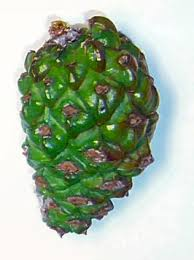 conifer cone wikipedia
