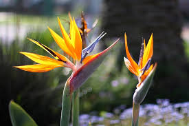 bird of paradise flower learn how to grow a bird of paradise plant