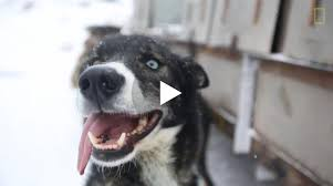 what makes a great sled dog breed ambition tough feet