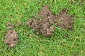 How To Get Rid Of Moles In The Backyard by Lawn Care And Construction Removing Worms From Lawns