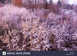 winter eryngium giganteum silver ghost helenium riverton
