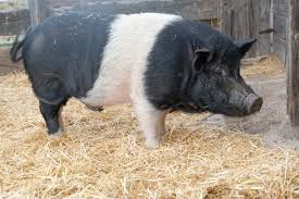 hog haven farm official blog