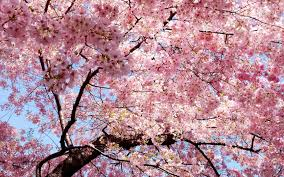 pink flower tree flowers tree branches pink wallpaper 1680x1050 135645
