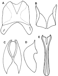 Vitre Louisiana by A Revision Of The Genus Mecistostethus Marseul Histeridae