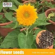 teddy sunflowers 50 particle bag teddy sunflower seed sunflower indoor