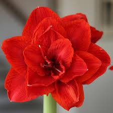 amaryllis flower king 30 32cm longfield gardens