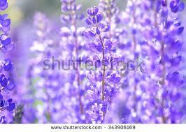 Purple And Blue Flowers Lavender Flower Field Fresh Purple Aromatic Stock Photo 83381044