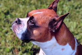 should boxer dogs eat from raised food bowls pets