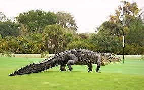Gator Meme - video florida golfers play on despite 13 foot alligator on putting