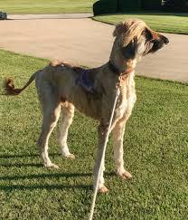 afghan hound of america marley in iowa afghan hound club of america u2013 national rescue