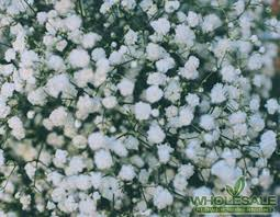 baby s breath flowers baby s breath million gypso million
