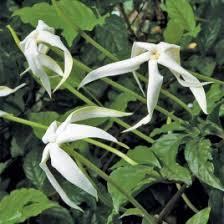 Indoor Fragrant Plants - fragrant indoor tropical plants logee u0027s rare u0026 unusual plants
